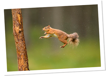 The red squirrel's story...