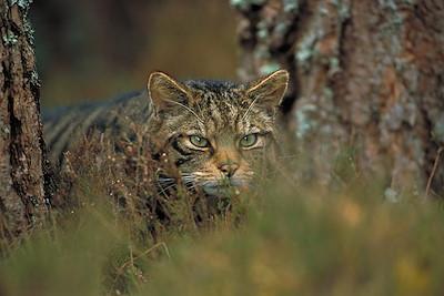 Scottish wildcat (Felis sylvestris) stalking through pine forest, Cairngorms National Park, Scotland.