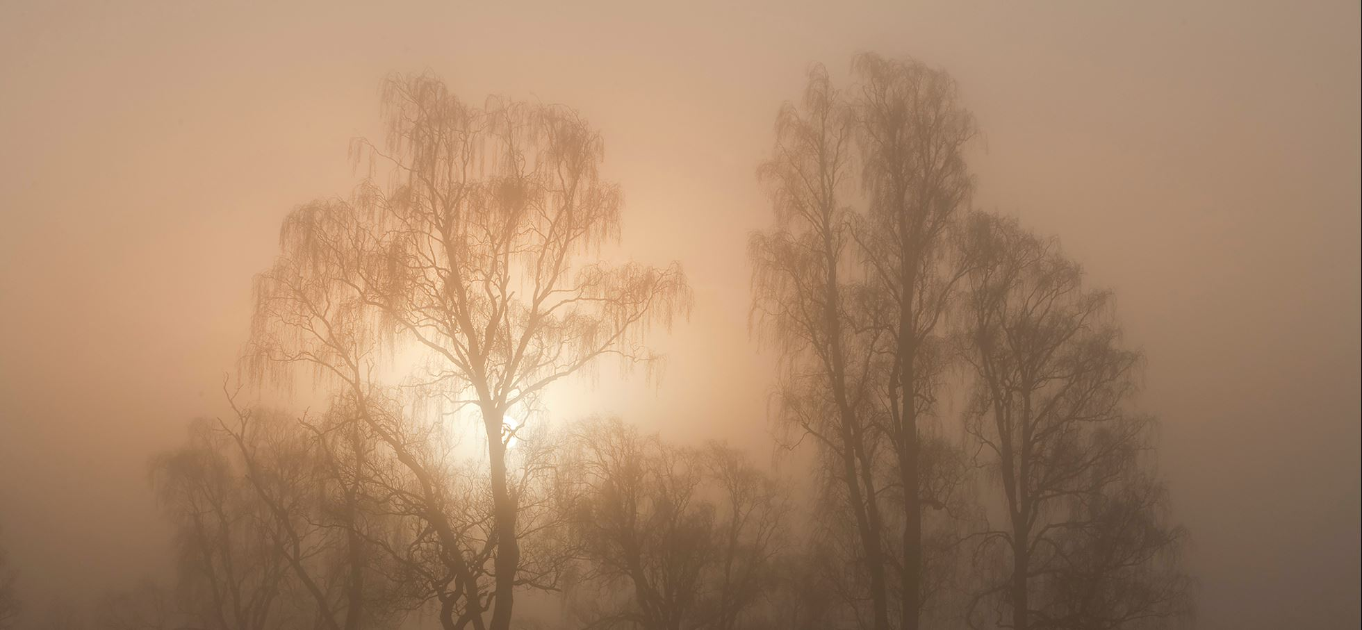 Silver birches silhouetted at dawn, Loch Insh, Cairngorms National Park,  Scotland.