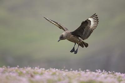 Great skua (Stercorarius skua) landing in thrift, Fair Isle, Scotland.
