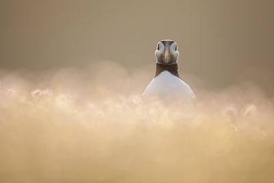 Atlantic puffin (Fratercula arctica) in sea pinks/thrift, Fair Isle, Scotland.