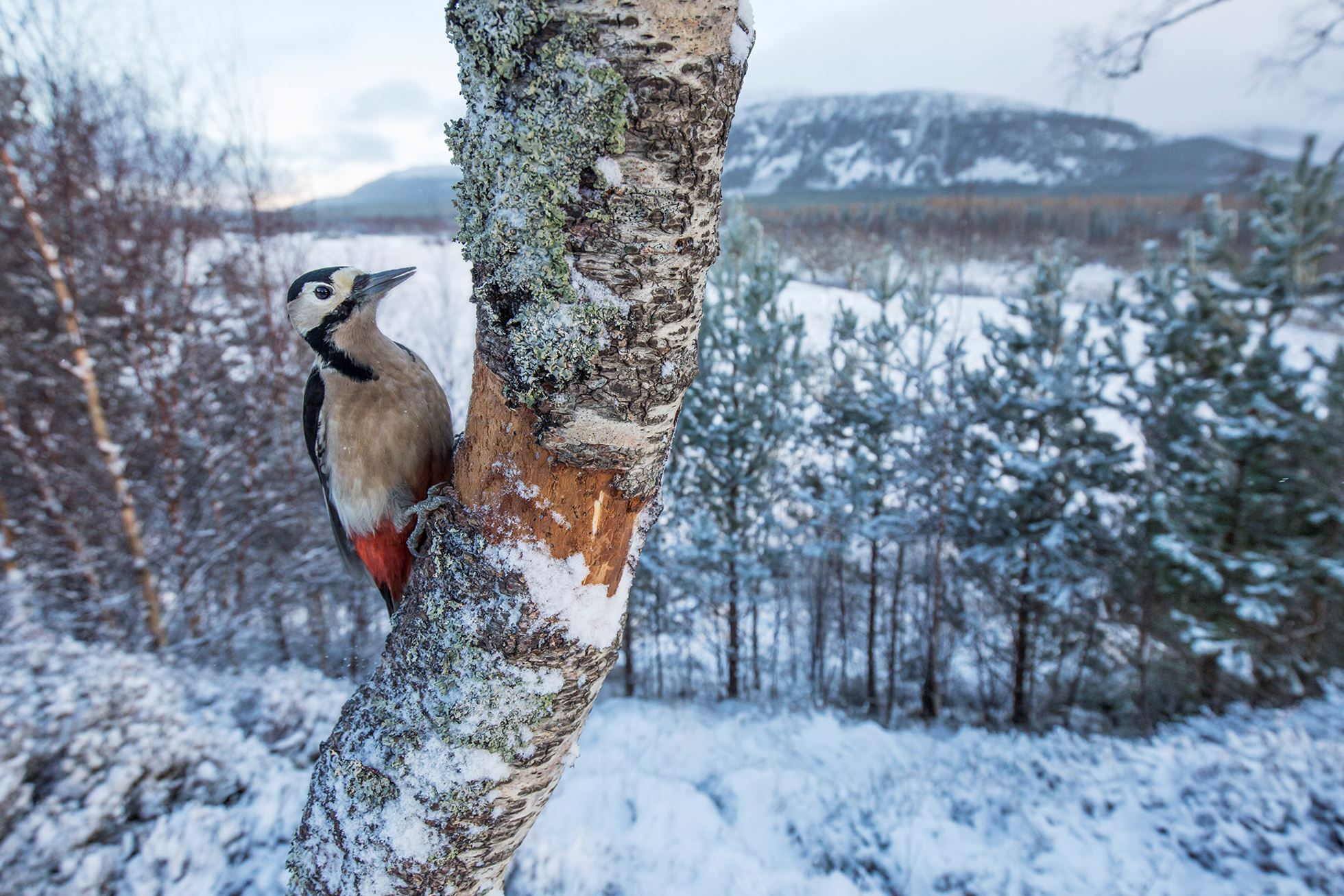 Great spotted woodpecker (Dendrocopus major) in snowy woodland, Glenfeshie, Scotland.