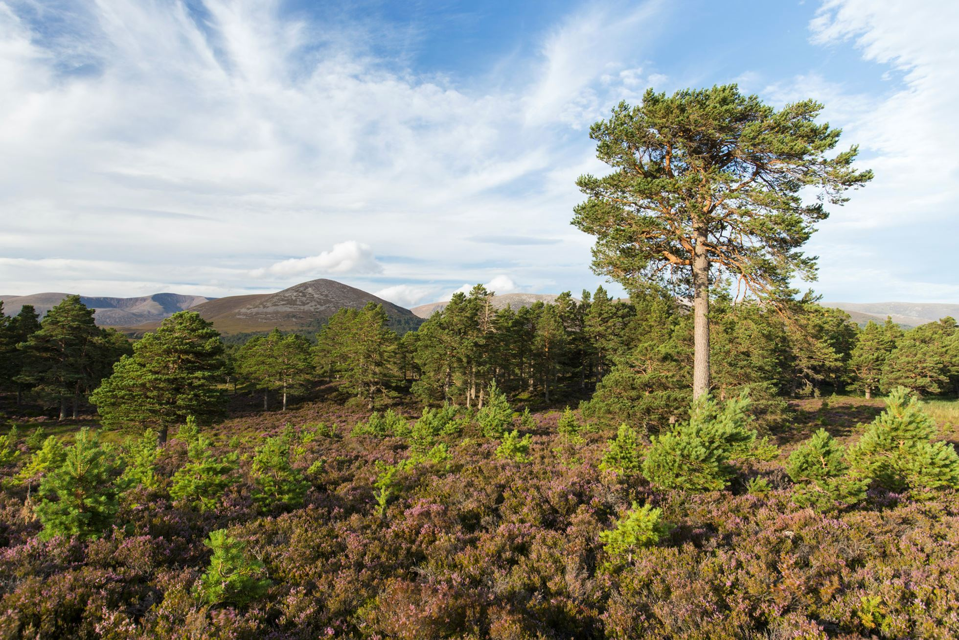 Scots Pine and saplings on heather moorland in summer, Cairngorms National Park