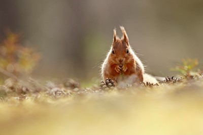Red Squirrel (sciurus vulgaris) feeding sitting pine cone covered forest floor, in the Cairngorms National Park,, Scotland, UK