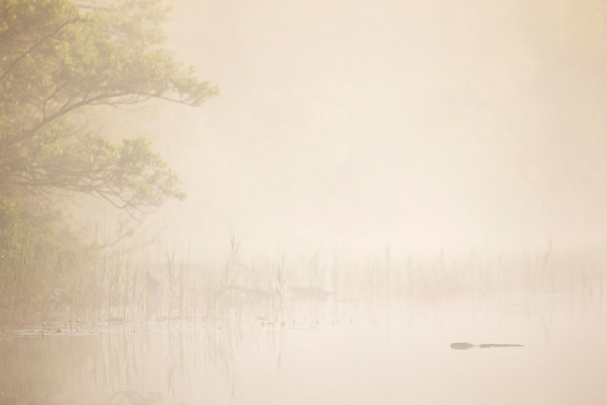 European beaver (Castor fiber) swimming at dawn, Argyll, Scotland.
