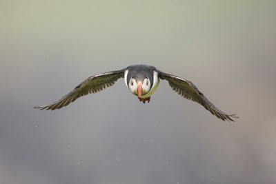 Atlantic puffin (Fratercula arctica) in flight, Fair Isle, Scotland.
