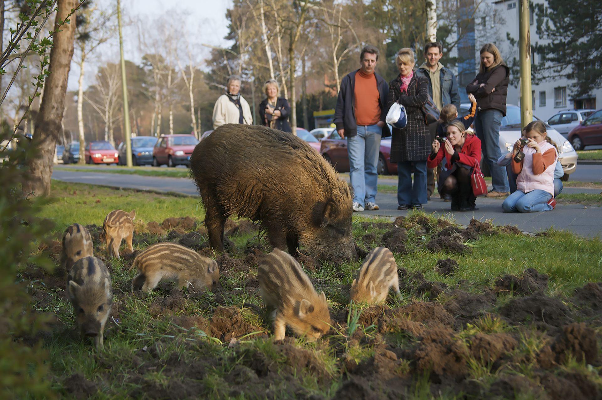 Wildschwein (Sus scrofa), Bache und Frischlinge wühlen in einem Vorgarten an der Argentinischen Allee, Berlin, Deutschland. Wild boar, sow and piglets grubbing in a frontyard in Berlin, Germany.