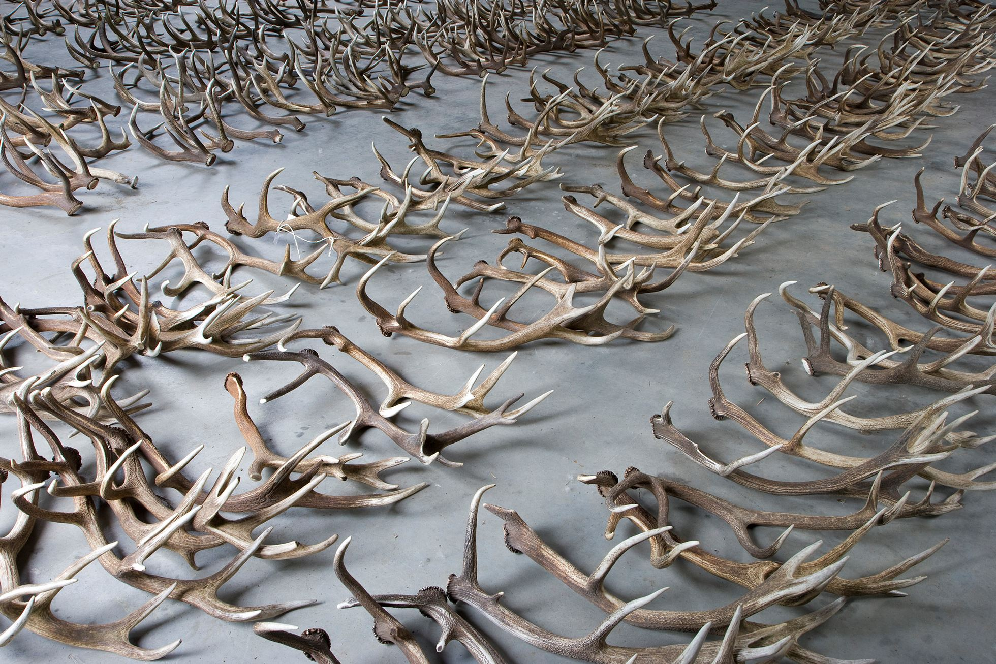 Red deer antlers laid out in prepartation for measuring and weighing as part of statisical analysis to assess the health of the red deer population. Oostvaardersplassen, Netherlands. June. Mission: Oostervaardersplassen, Netherlands, June 2009.