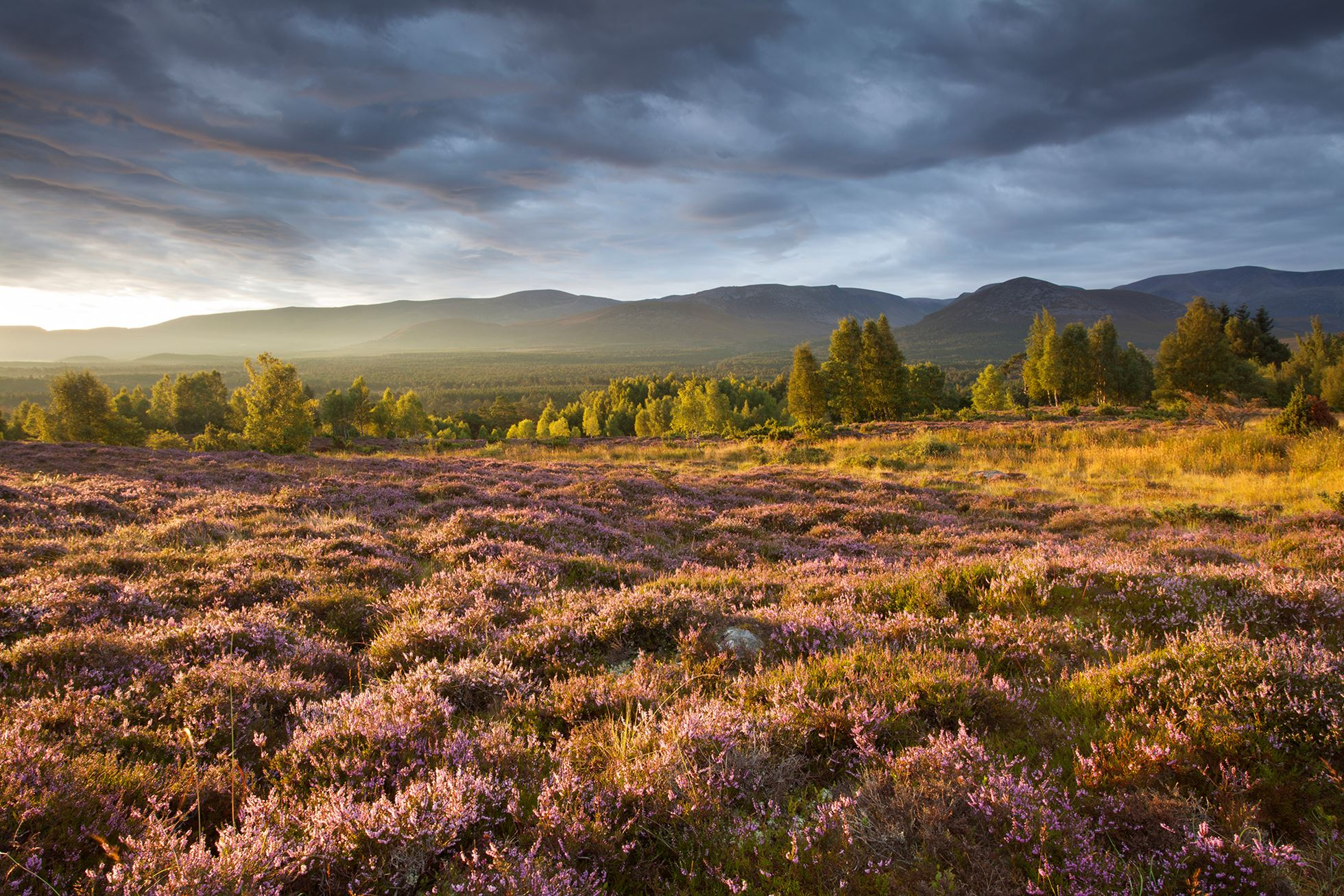 Heather moorland in flower, birch woodland and Cairngorm mountain range, Cairngorms National Park, Scotland