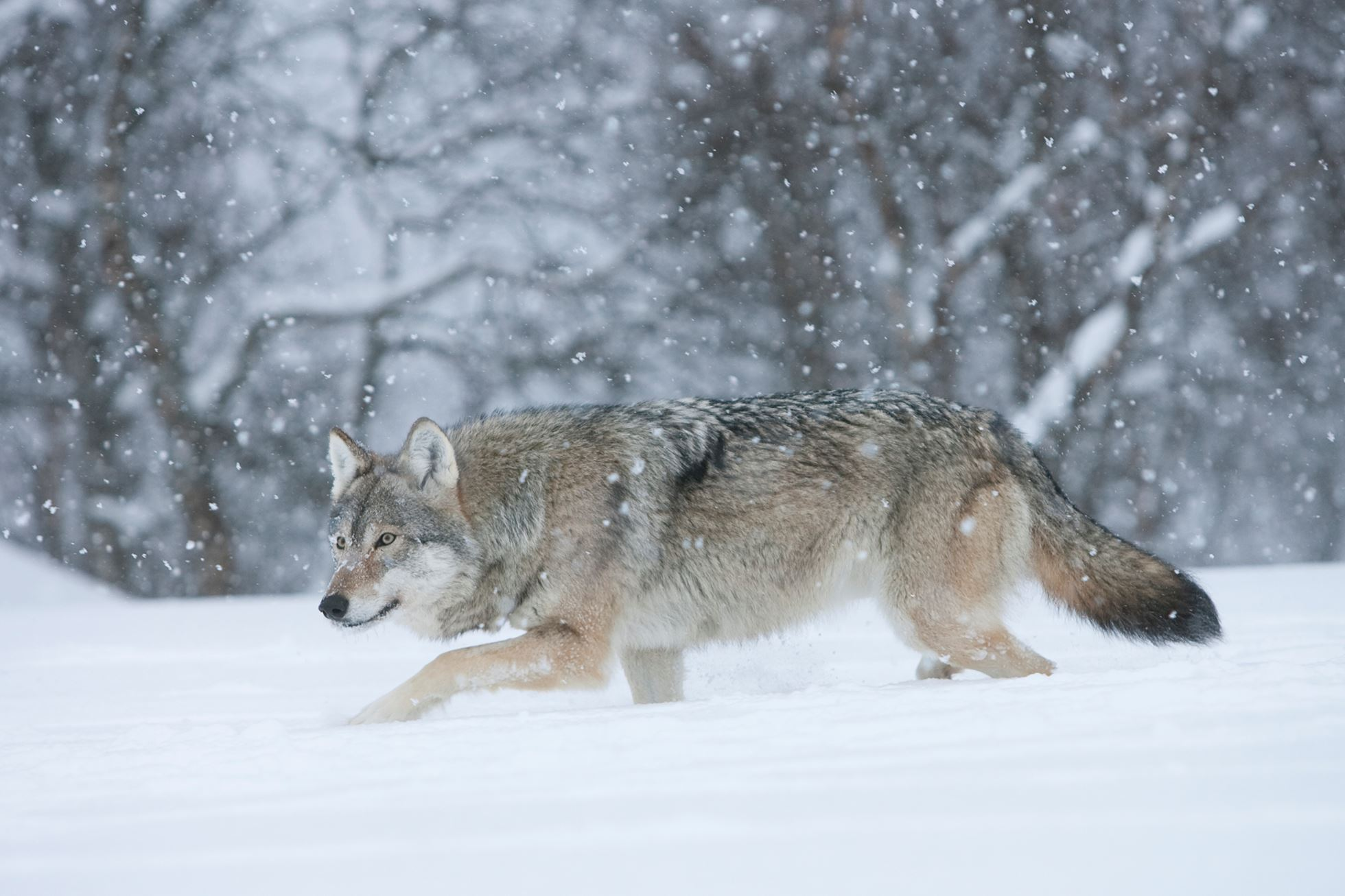 European wolf (Canis lupus) in winter birch forest, Norway (c)