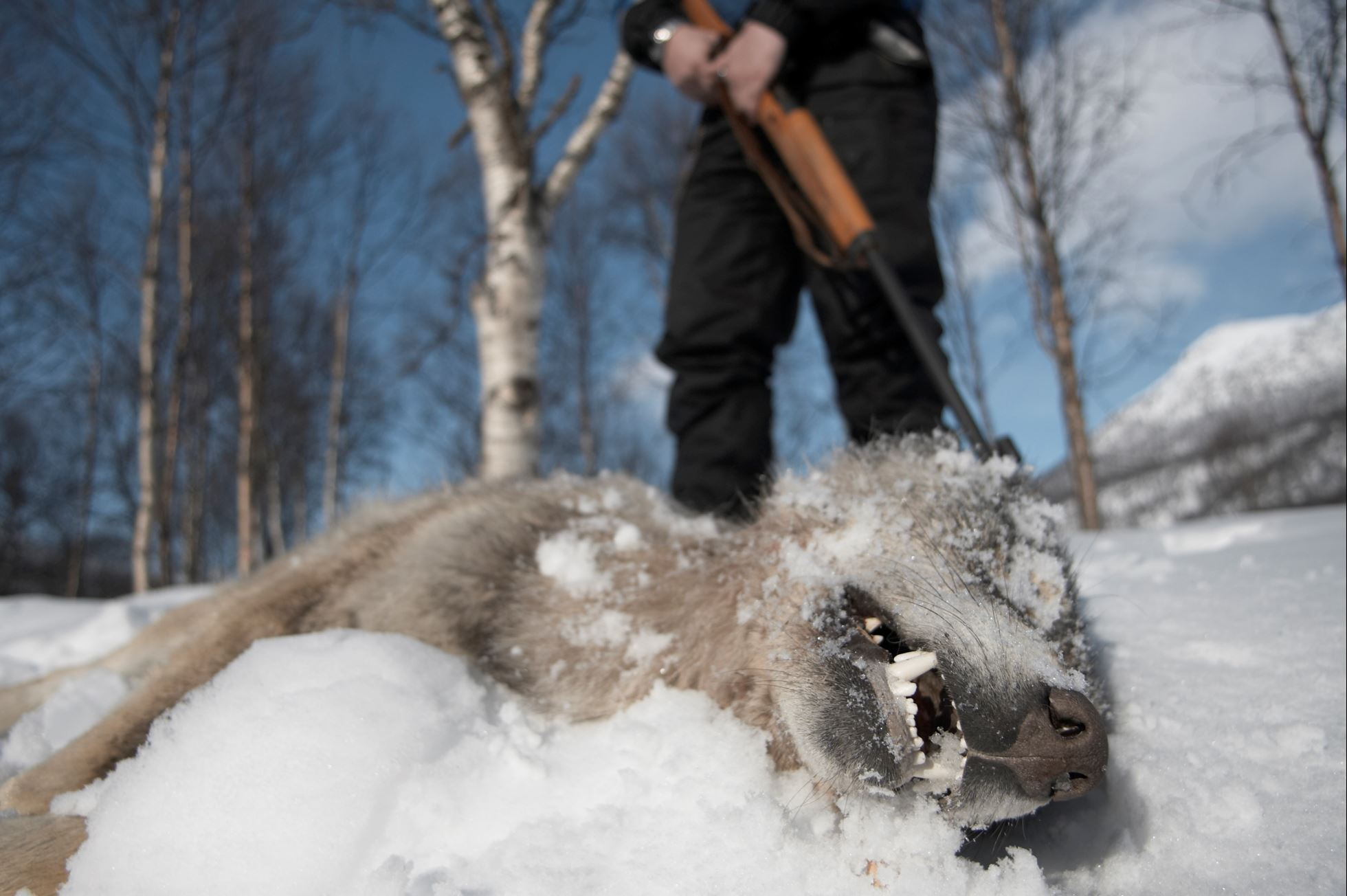 European wolf (Canis lupis) lies dead after Norwegian government sanctioned wolf cull, Hedmark, Norway