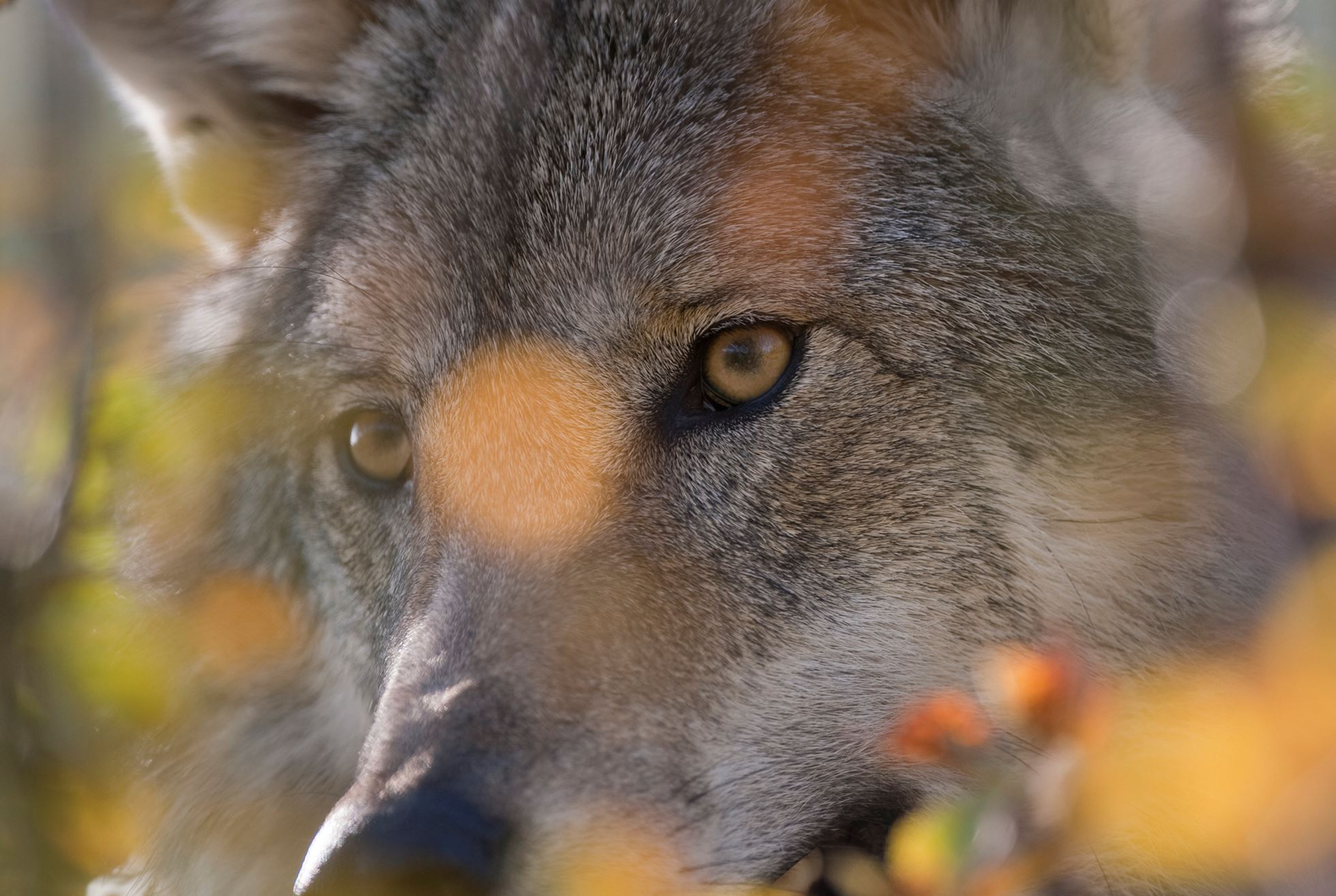 European wolf (Canis lupis) in autumnal boreal forest, Norway (c)