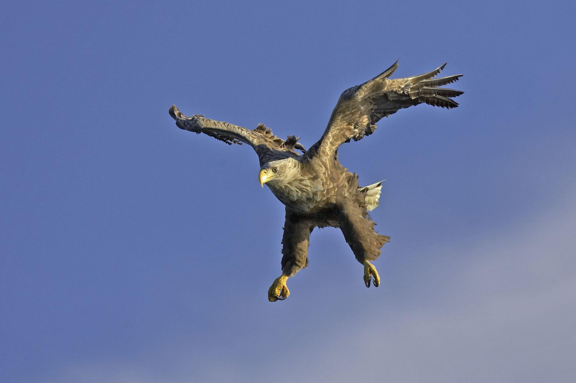 Sea eagle (Haliaeetus albicilla) in flight against blue sky, Flatanger, Norway.