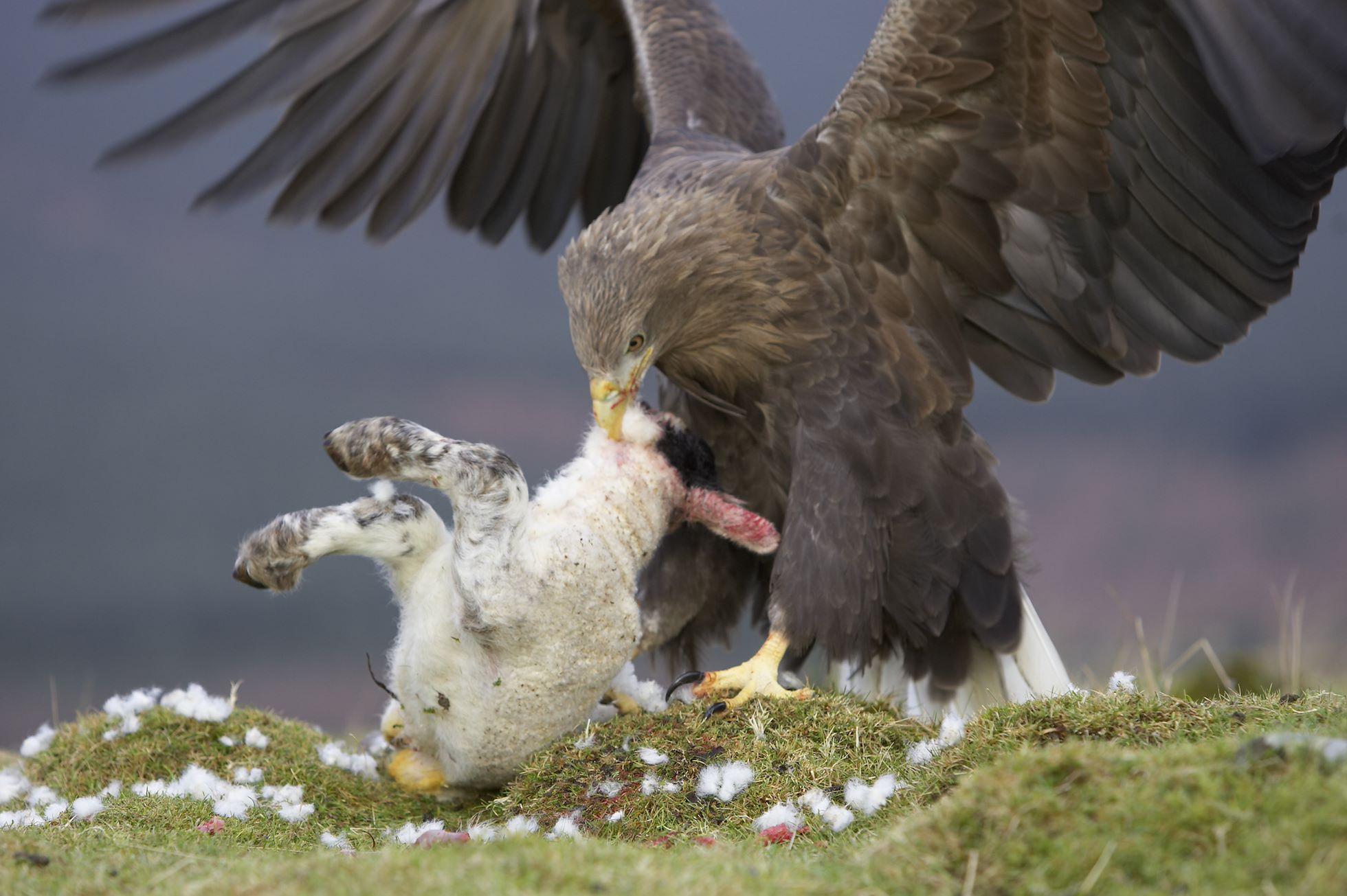 White tailed eagle (Haliaeetus albicilla) adult feeding on lamb, Mull, Argyll, Scotland (c)
