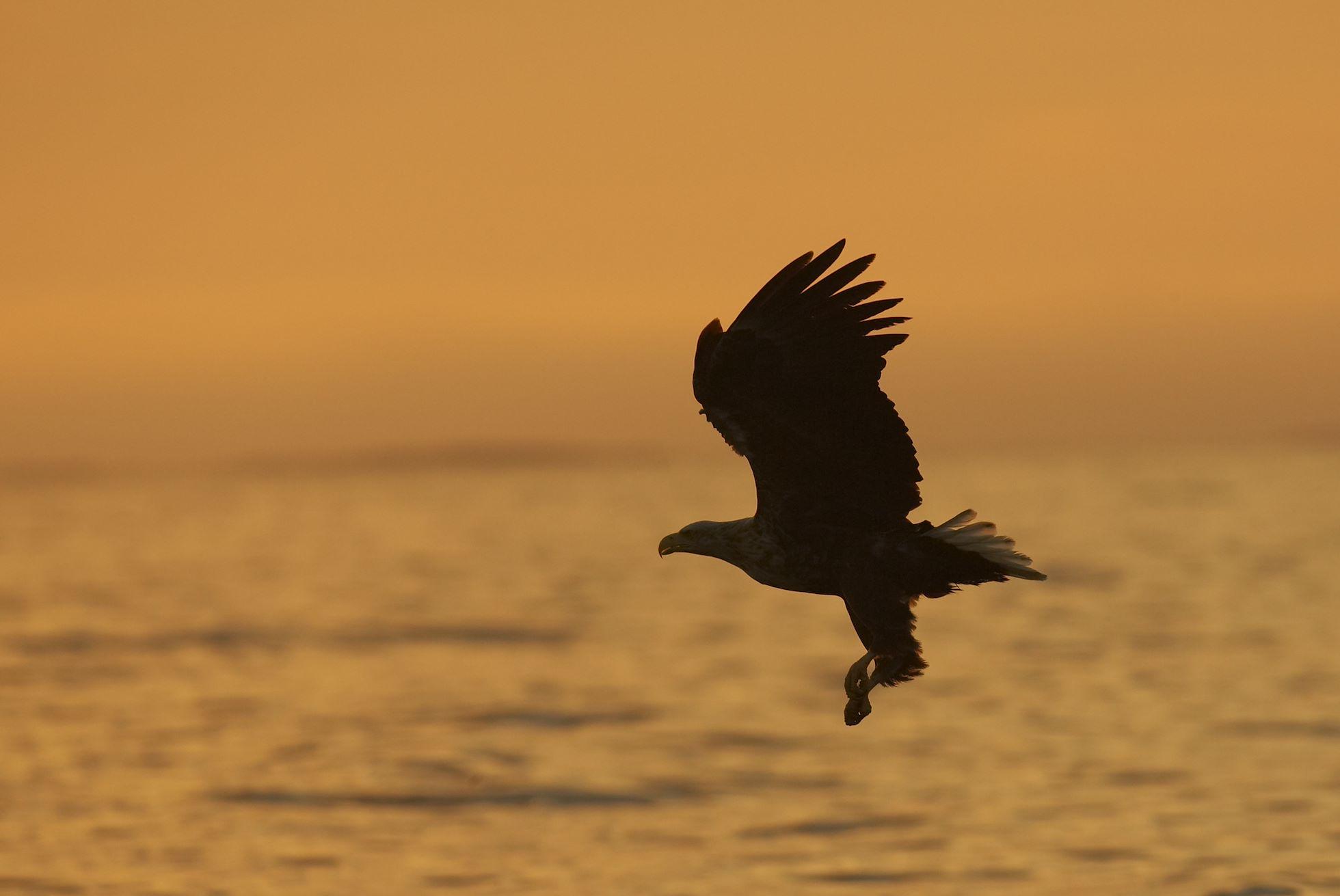 Sea eagle (Haliaeetus albicilla) in flight silhouetted against sunset, Flatanger, Norway