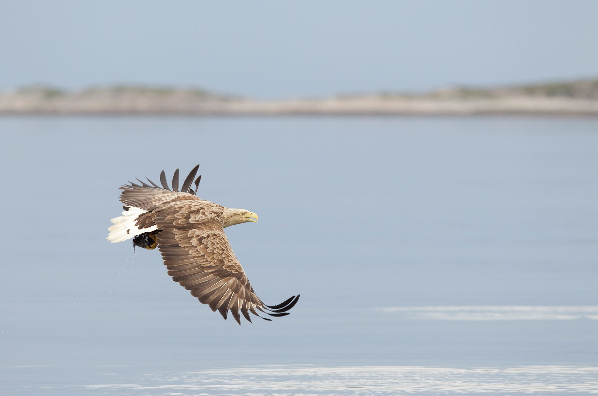 White-tailed eagle(Haliaeetus albiciila) flying along coast, Flatanger, Norway