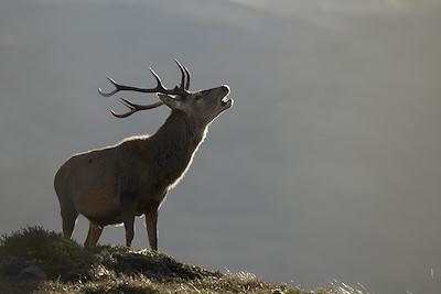 Red deer (Cervus elaphus) stag/male roaring during annual rut Alladale Wilderness Reserve Scotland