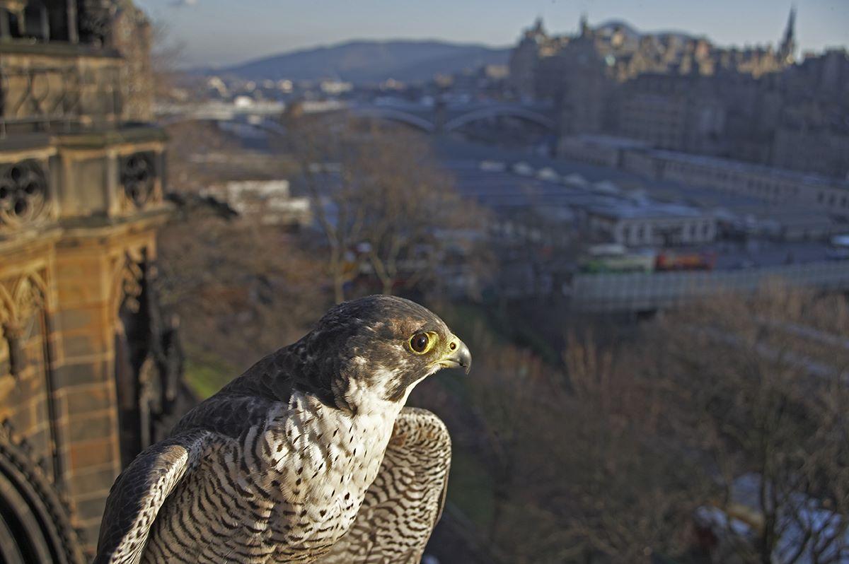 Peregrine Falcon (Falco peregrinus) in urban setting, Edinburgh, Scotland (c)