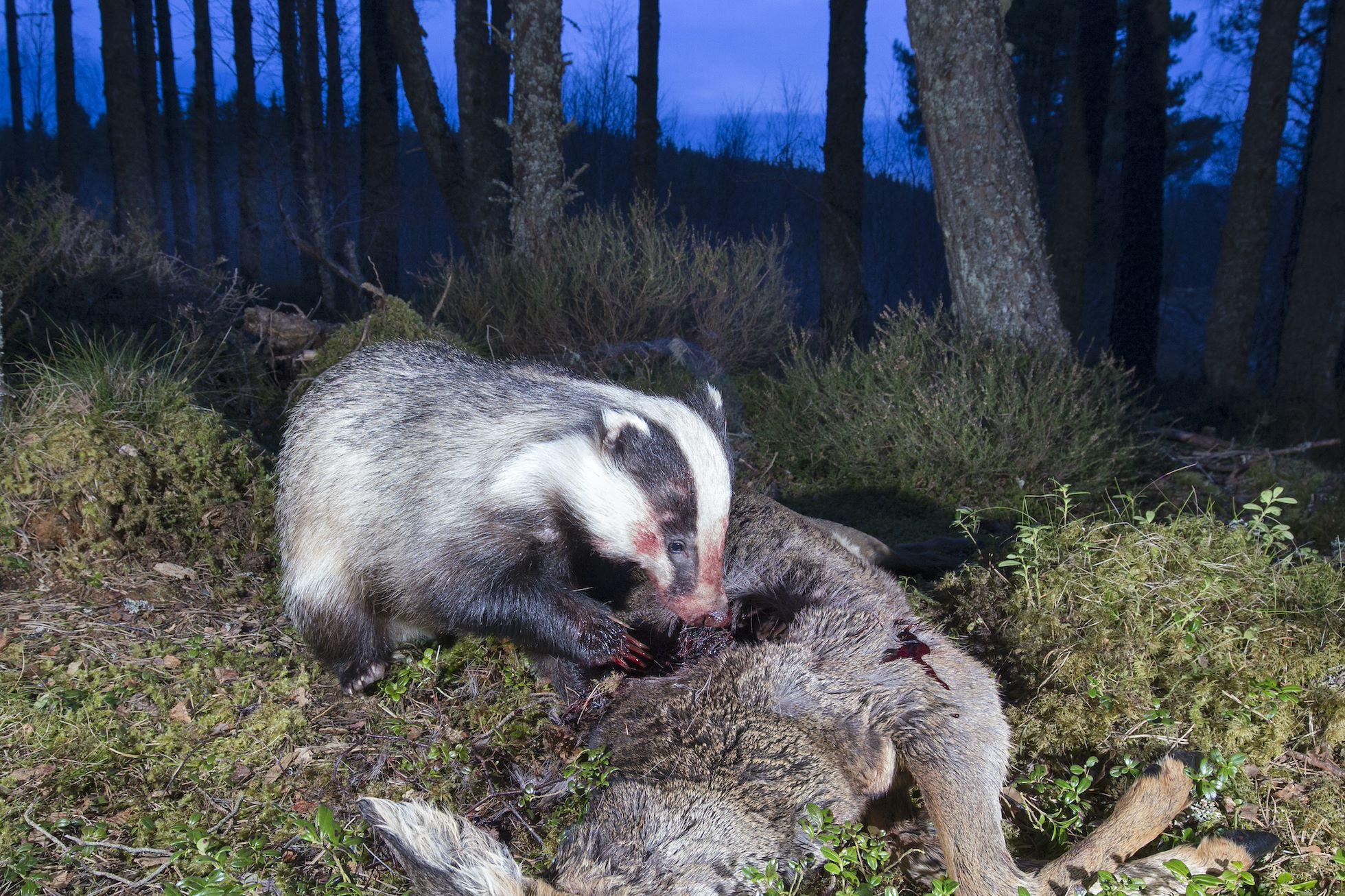 Badger (Meles meles) scavenging on a roe deer carcass, Cairngorms National Park, Scotland