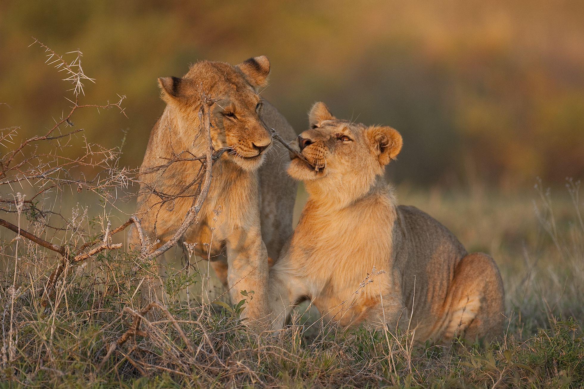 Young lions (Pathera leo) playing, Serengeti National Park, Tanzania.