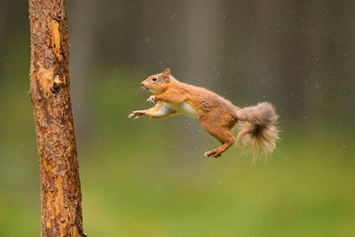 Red Squirrel (Sciurus vulgaris) in mid-air, about to land on pine trunk