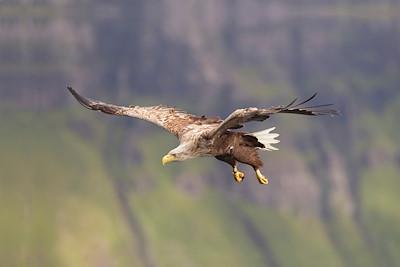 Sea eagle (haliaetus albicilla) in flight, Portree, Skye, Scotland.