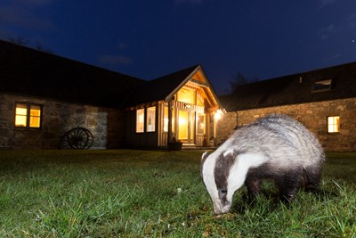 Badger (Meles meles) in front of building at night, Cairngorms, Scotland.