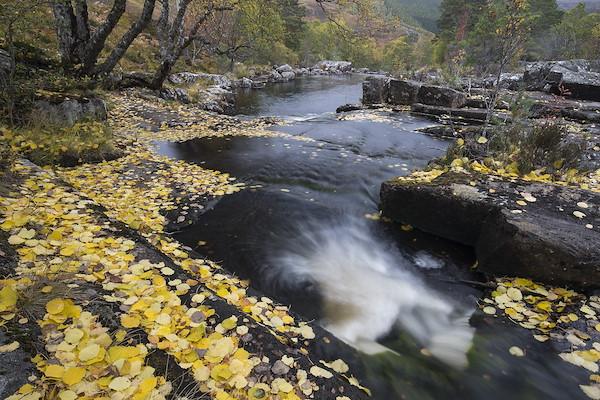 River Cannich in autumn with fallen aspen leaves, Scotland.