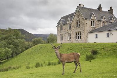 Red deer stag (Cervus elaphus) stood in front of Alldale Lodge, Sutherland, Scotland.