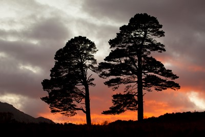 Scots pines silhouetted at sunset, Glen Affric, Scotland.
