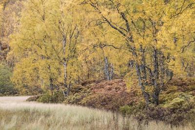 Autumn birches, Craigellachie NNR, Scotland.