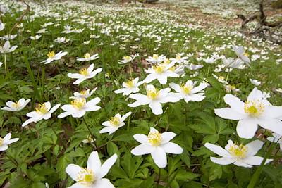 Wood anemone Anemone nemorosa, growing in profusion on woodland floor, Scotland, May