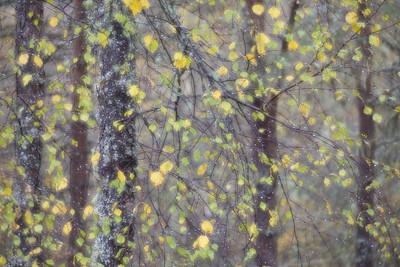 Birch woodland abstract, Glen Affric, Scotland
