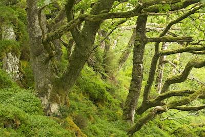 Rich Atlantic Oakwood in summer, Taynish NNR, Argyll, Scotland.