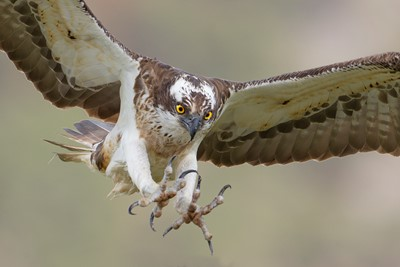 Osprey%20%28Pandion%20haliaetus%29%20in%20flight%2C%20Cairngorms%20NationalPark%2C%20Scotland.