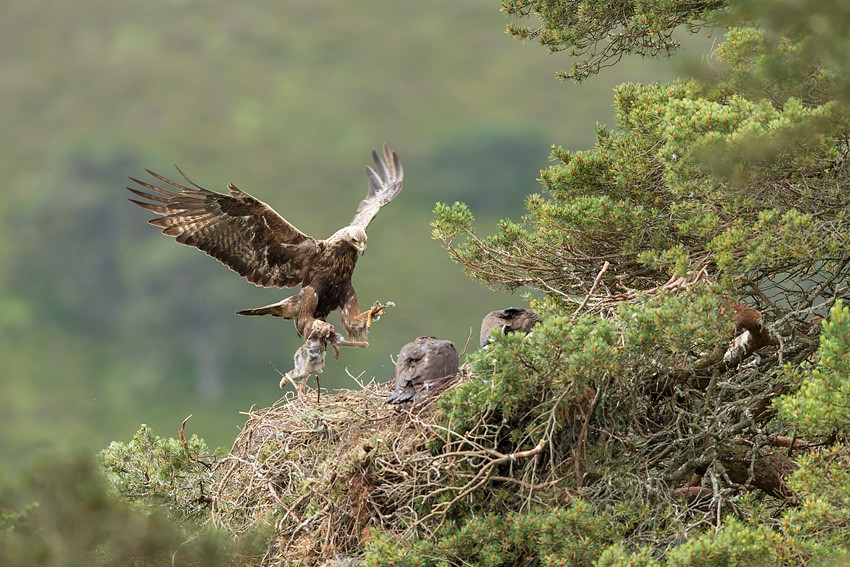 Golden%20eagle%20(Aquila%20chyrsaetos)%20%20male%20flying%20into%20nest%20site%20with%20prey%20for%20chicks%2C%20Cairngorms%20National%20Park%2C%20Scotland