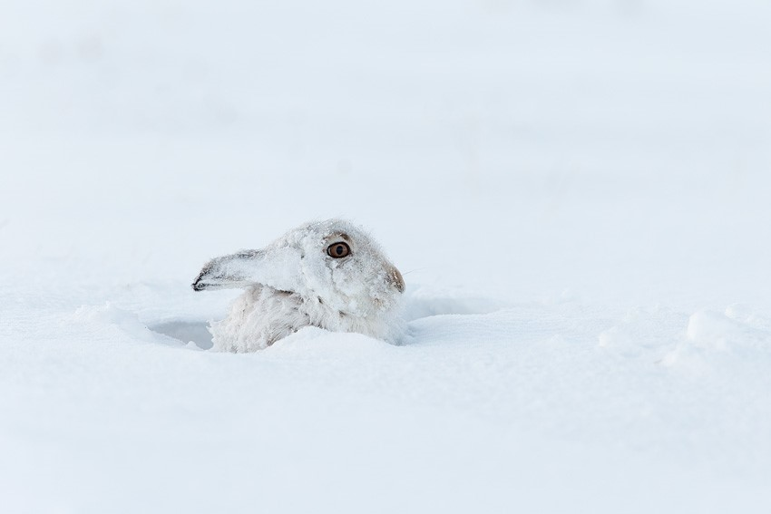 Mountain%20Hare%20(Lepus%20timidus)%20resting%20in%20snow%20hole%20in%20upland%20habitat