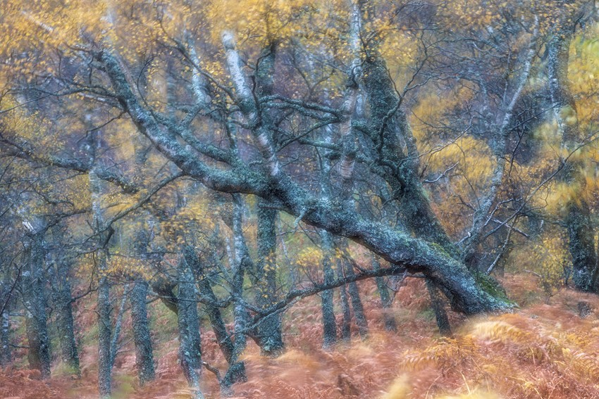 Abstract%20of%20autumnal%20birch%20woodland%2C%20Cairngorms%20National%20Park%2C%20Scotland.
