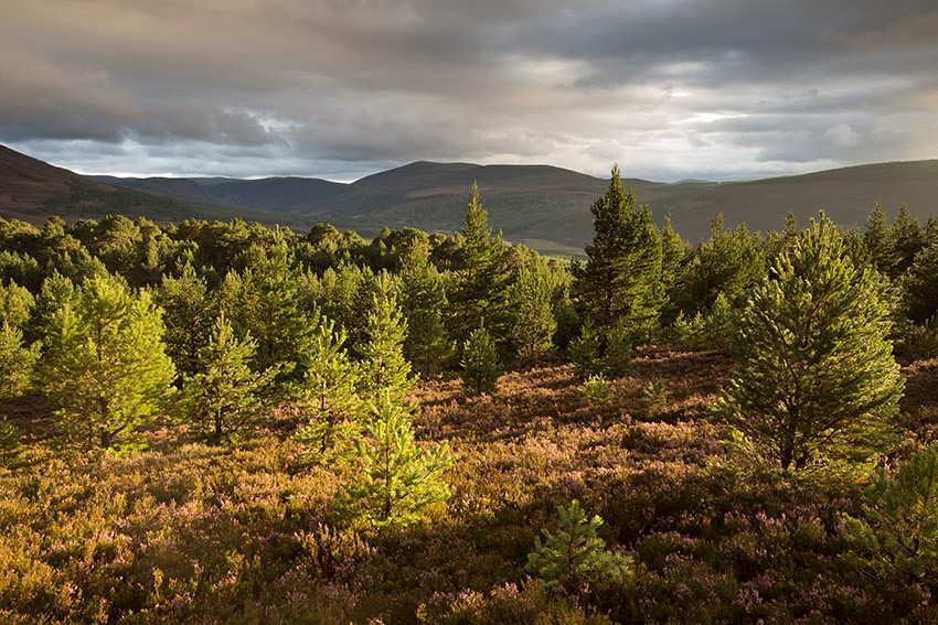 Dramatic%20evening%20light%20over%20regenerating%20pine%20woodland%2C%20Glenfeshie%2C%20Cairngorms%20National%20Park%2C%20Scotland.