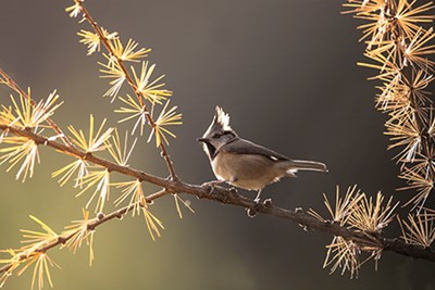 Crested%20tit%20(Parus%20cristatus)%20backlit%20in%20autumn%20larch%2C%20Glenfeshie%2C%20Cairngorms%20National%20Park%2C%20Scotland
