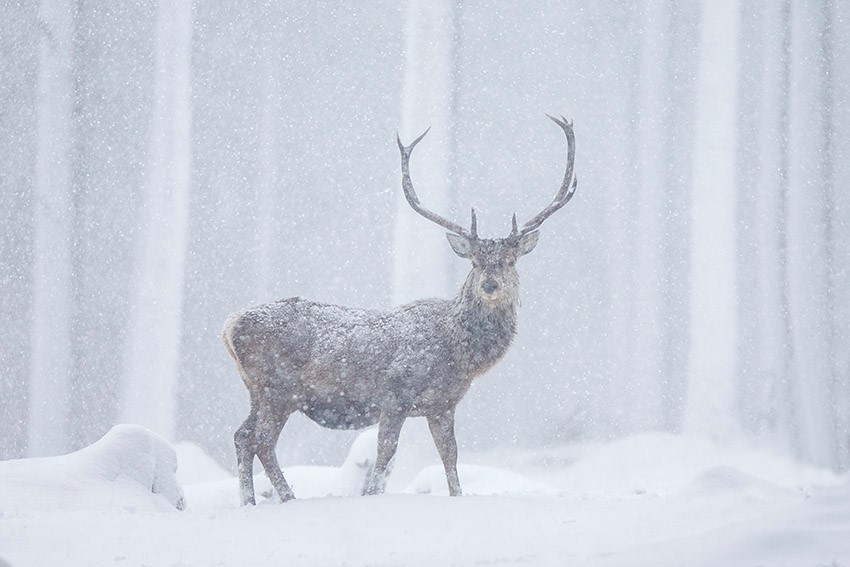 Red%20deer%20(Cervus%20elaphus)%20stag%20in%20blizzard%2C%20Alvie%20Forest%2C%20Scotland.