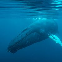 First underwater humpback images!