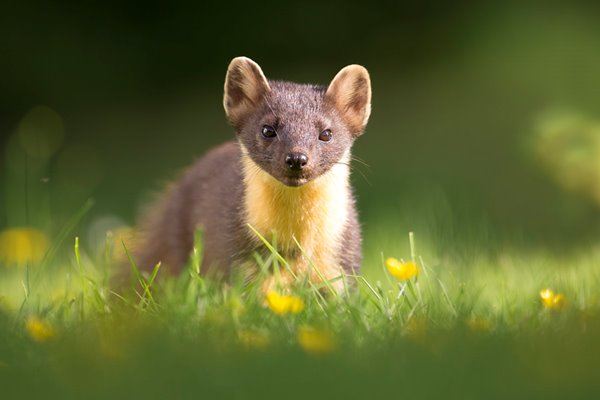 Pine Marten: On Assignment