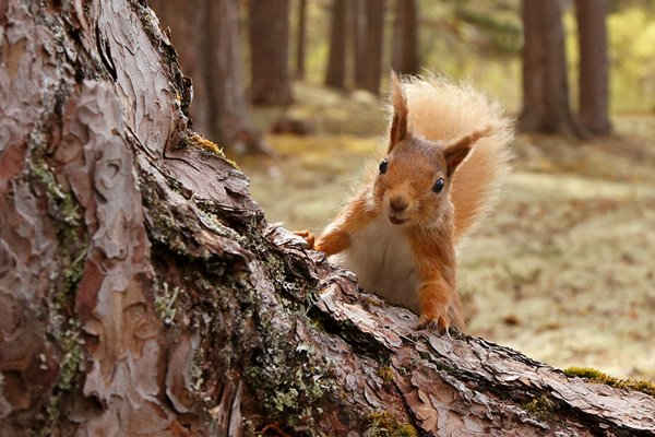 Red Squirrel: On Assignment
