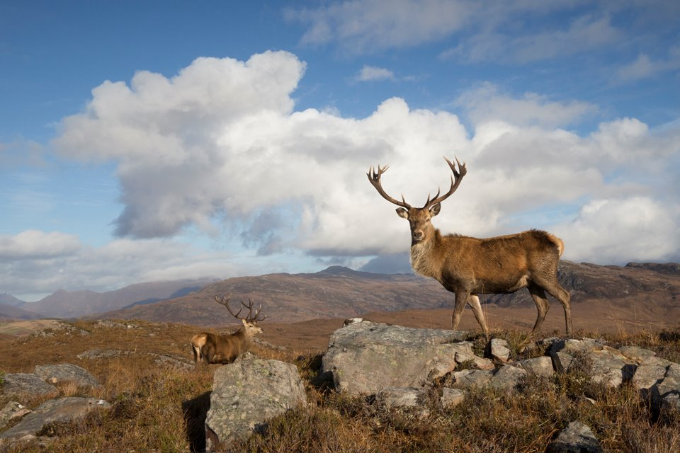 Red deer (Cervus elaphus) stags in west Highland landscape, Lochcarron, Wester Ross, Scotland