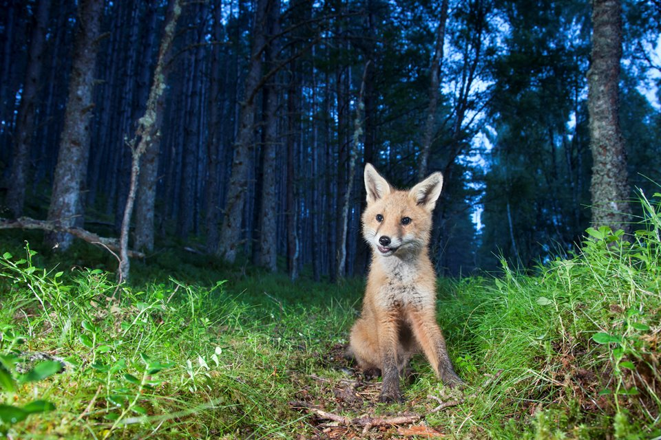 Red fox (Vulpes vulpes) cub in birch woodland at dusk, Glenfeshie, Scotland.