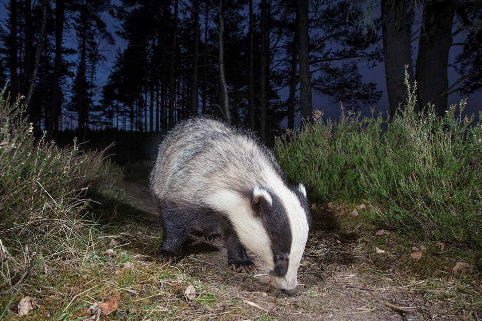 European badger foraging in pine woodland, Glenfeshie, Scotland.