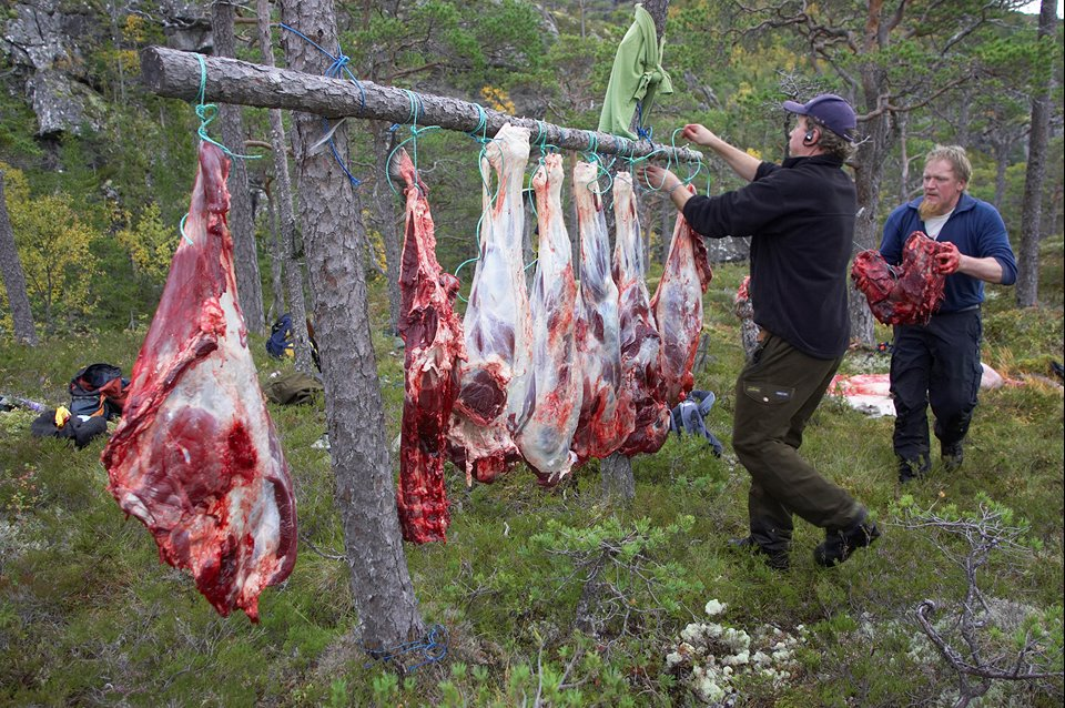 Recently shot elk is butchered in the forest and hung up awaiting collection during annual elk hunt held in September. Flatanger, Nord-Trondelag, Norway