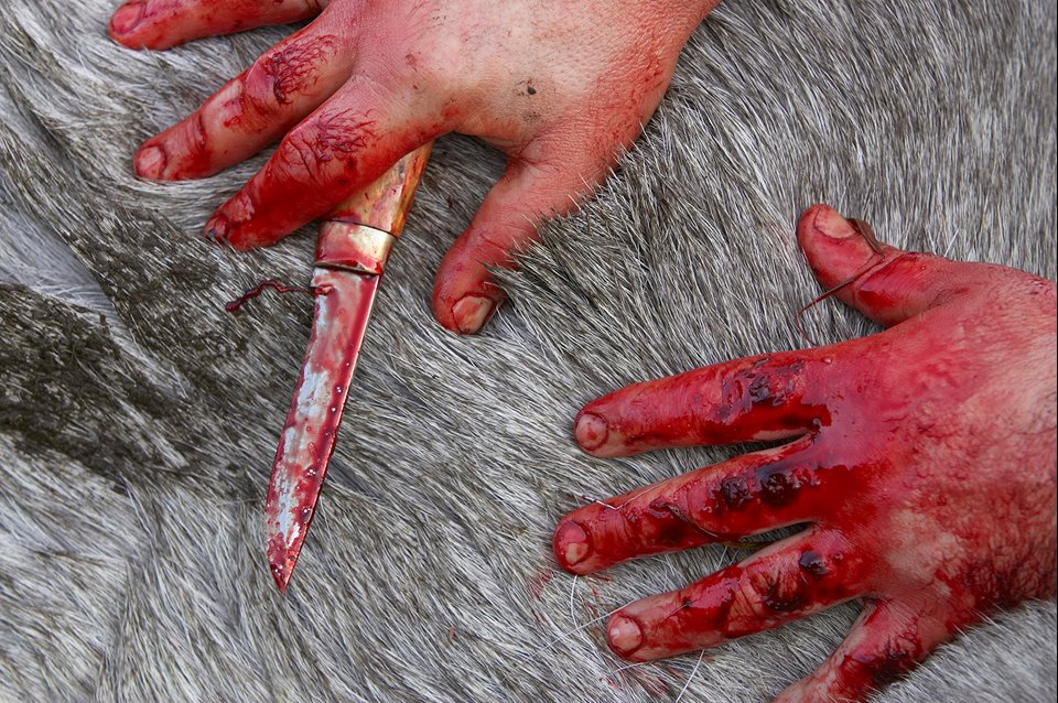 Close up/abstract of hunter's bloodied hands as he starts to skin recently shot elk, during annual elk hunt in September, Flatanger, Nord-Trondelag, Norway.