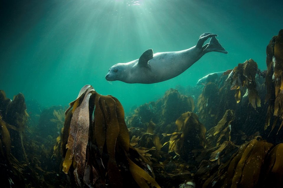 Grey seal (Halichoerus grypus) swimming over kelp forest Shetland Isles.